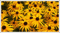 photo of yellow daisies links to photo gallery